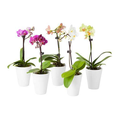 Orchidea in vaso Ikea