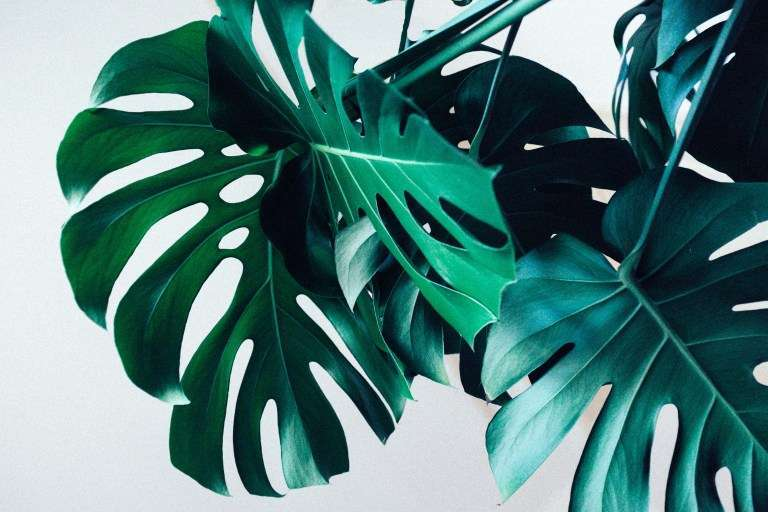 Pianta Monstera Deliciosa