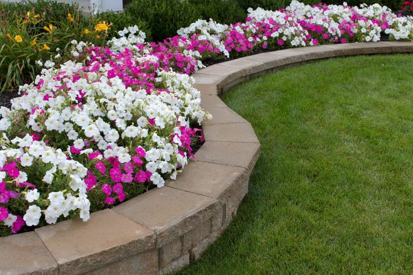 Pink,And,White,Petunias,On,The,Flower,Bed,Along,With