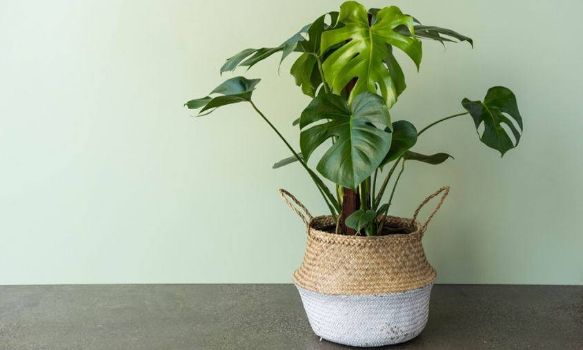 piante di tendenza per arredare casa monstera